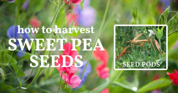 Sweet pea flowers and sweet pea seed pods.