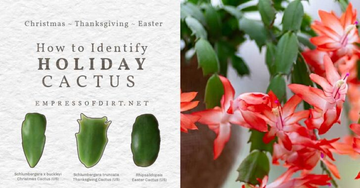 Christmas, Thanksgiving, and Easter cactus leaves.