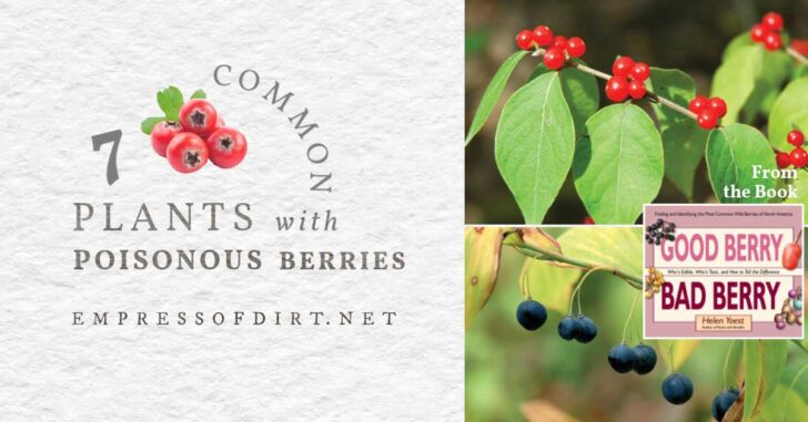 Examples of common plants that produce poisonous berries.