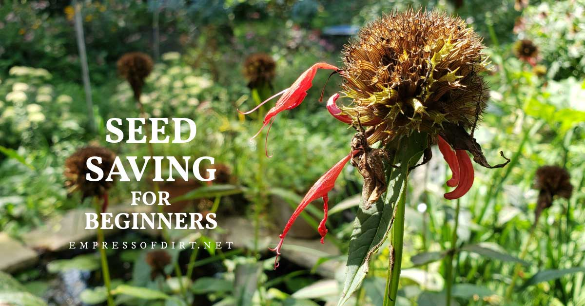 Bee balm flower turning to seed.