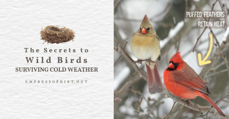 Male and female cardinal birds keeping warm on tree branch in winter.
