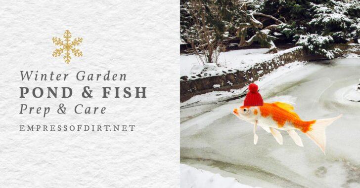 Goldfish wearing a red hat near a winter garden pond.