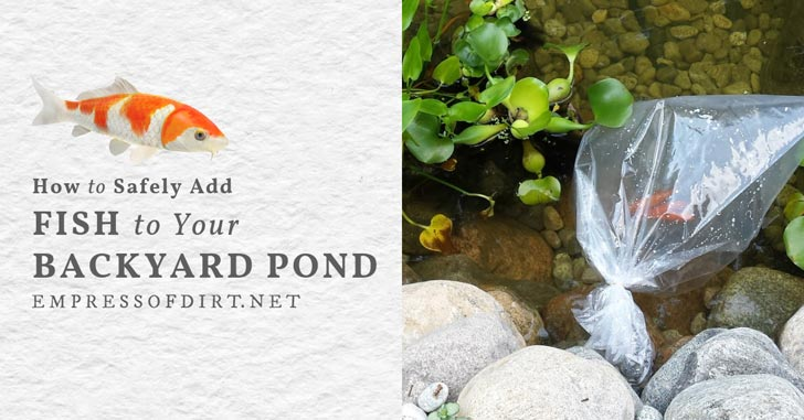 Adding fish to a backyard garden pond in a plastic bag.