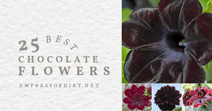 Examples of plants with the color or fragrance of chocolate.