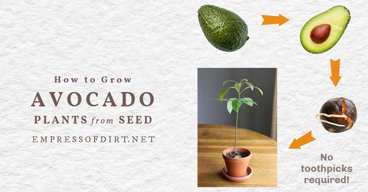 Avocado seed being propagated to grow a houseplant.