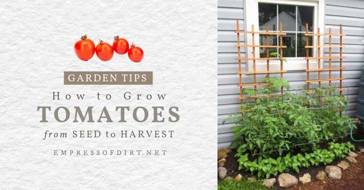 Tomato plants in the garden with trellis.