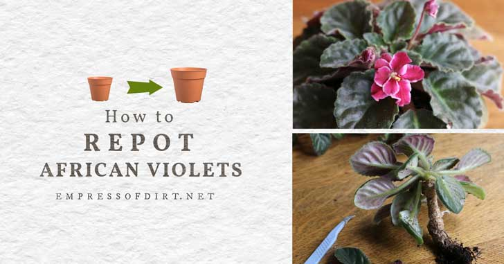 Pink African violet flower and stems being cut down for repotting.