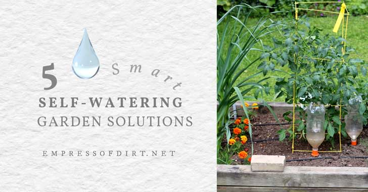 Self-watering bottles in a vegetable garden.