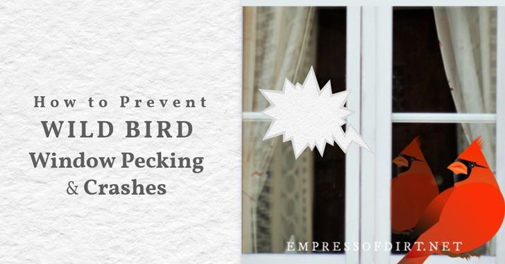 Red cardinal (bird) pecking on window.
