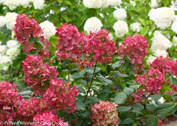 Fire Light® Hardy Hydrangea paniculata by Proven Winners