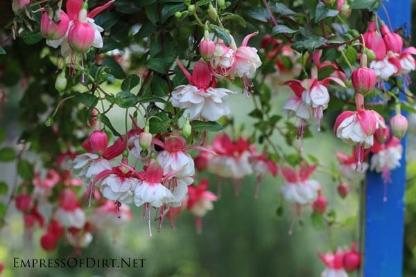 Fuchsias are one of many tender perennials you can overwinter indoors.