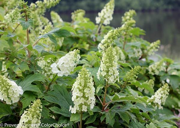 Gatsby Gal® Oakleaf Hydrangea quercifolia by Proven Winners