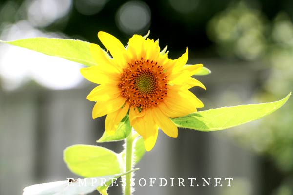 Planting sunflowers in home gardens.