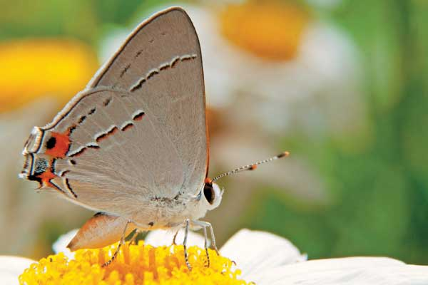 Gray Hairstreak butterfly - image by Shutterstock