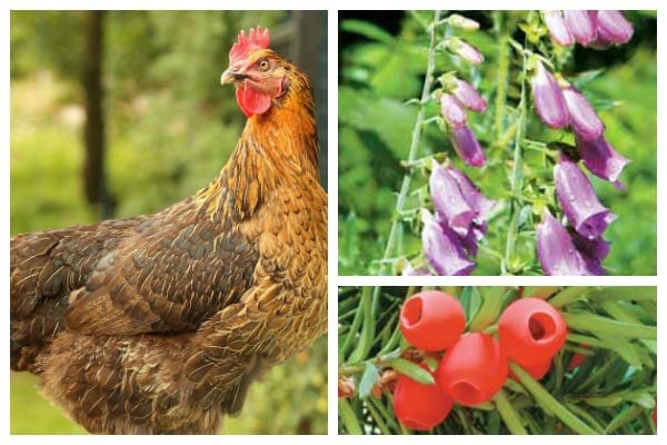 Helpful & Harmful Plants for Backyard Chickens