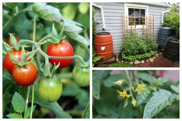 10 Best tips to know before you plant tomatoes.