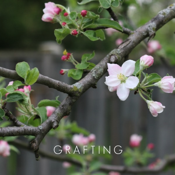 Grafting is a plant propagation method used on fruit trees.