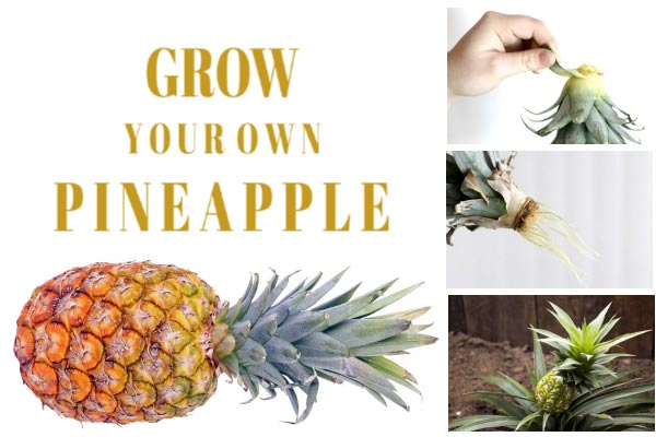 Steps for growing a pineapple top.