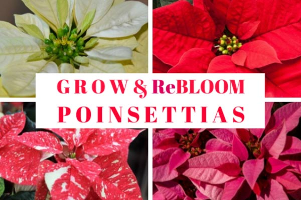How to Grow Poinsettias Indoors and Make Them Rebloom