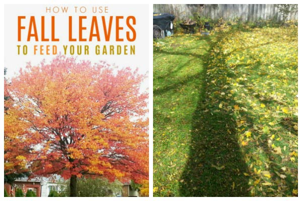 How to use fall leaves to feed your garden.