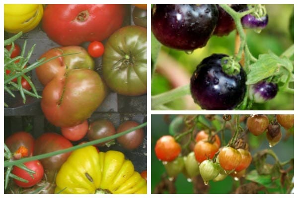Tomatoes come in all sorts of sizes, colors, and flavours.
