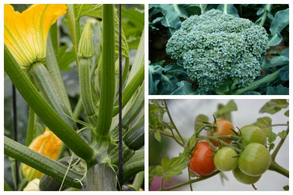 Vegetable Growing Tips for Beginners