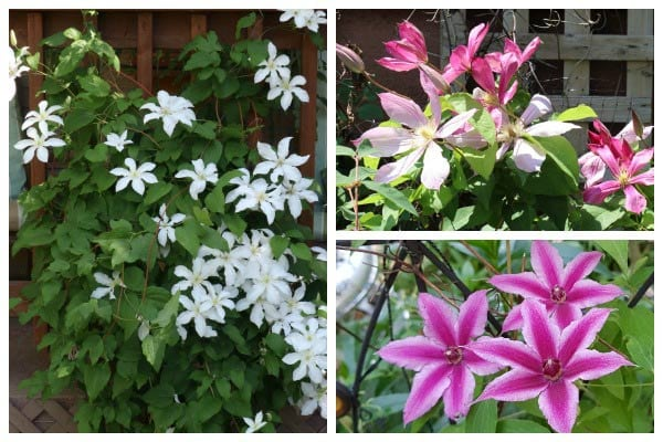 Why Your Clematis is Not Blooming and How to Get it to Flower