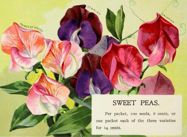 Vintage sweet pea seed catalog art.