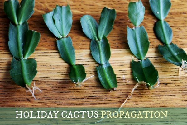 How to propagate holiday cacti.