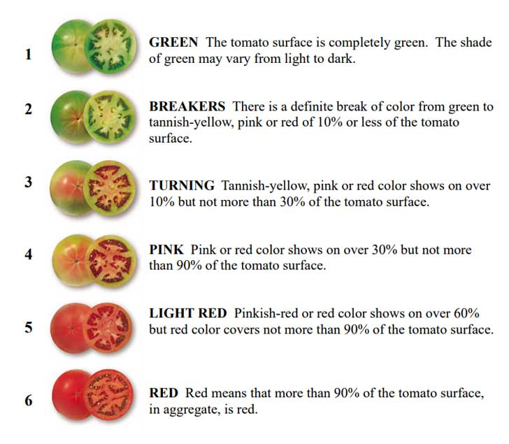 Tomato ripening stages