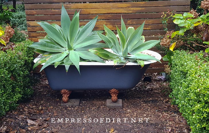 Old clawfoot bathbub, painted blue and planted with giant agave plants.