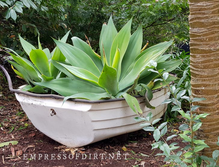 Old white rowboat planted with giant agaves in garden.