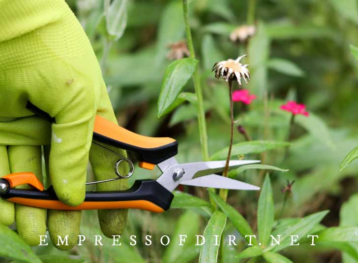 Using snippers to deadhead daisy flowers.