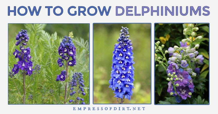 Blue and purple delphinium flowers.