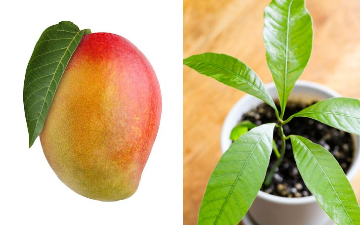 A mango fruit and mango house plant in small plastic pot.