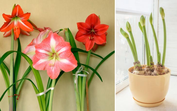 Amaryllis bulbs sprouting and flowering indoors.