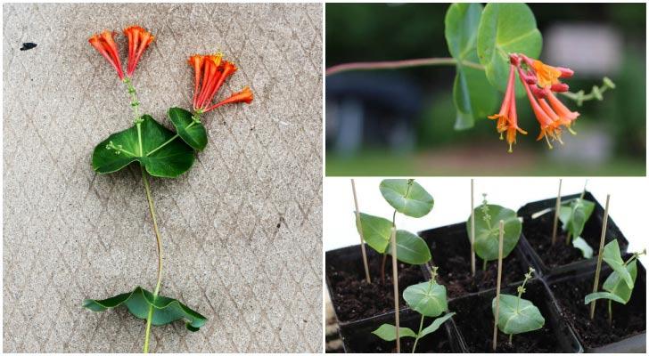 Orange honeysuckle flowers and cuttings in flower pots.