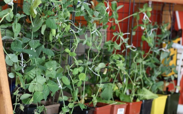 Edible pea plants growing in small pots indoors.