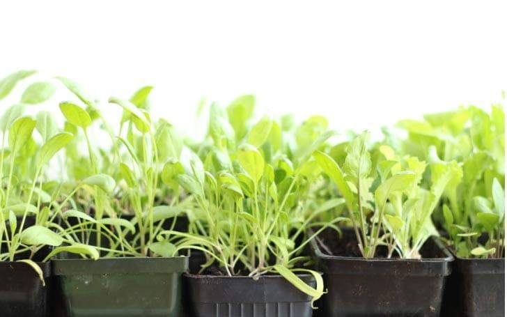 Salad greens growing in small plastic pots indoors.