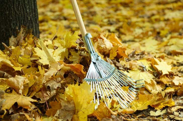 Raking leaves in fall garden.