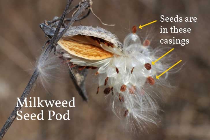 Diagram of milkweed seeds in a pod.