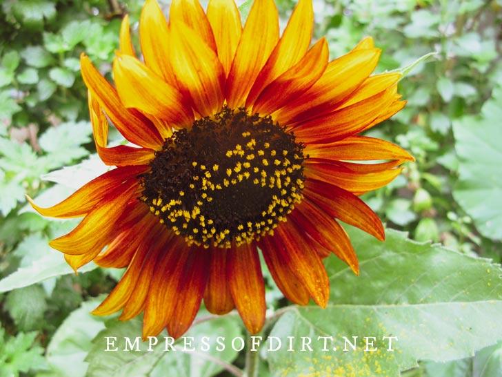 Orange-red sunflower in the garden.