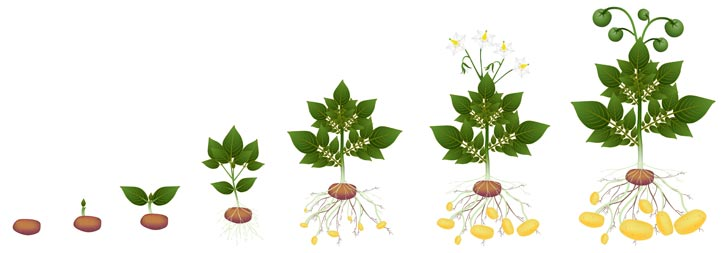 The lifecycle of a potato plant