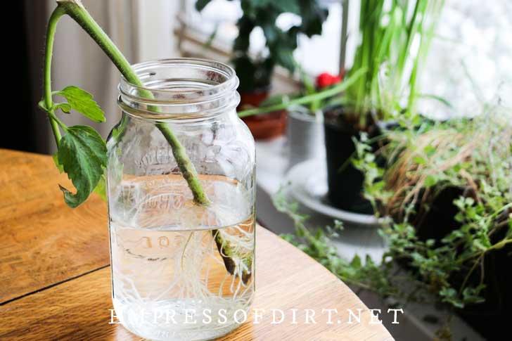 Rooting tomato plant cutting in mason jar