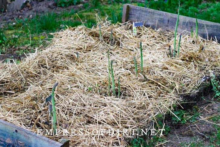 Asparagus growing with straw in a raised garden bed.