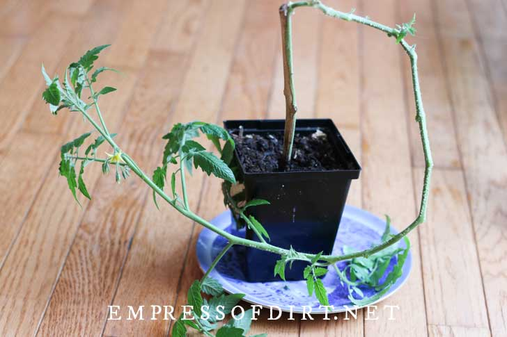New tomato plant cutting planted in flower pot