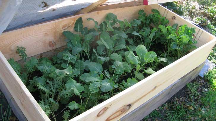 Brócolis e couve no jardim de inverno durante um degelo em empressofdirt.net/grow-vegetables-in-winter
