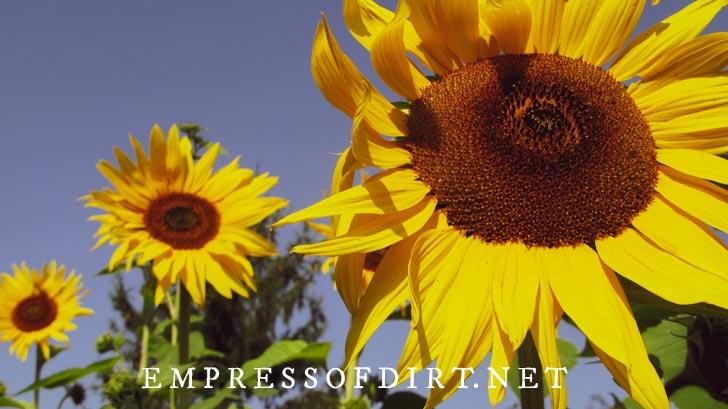 Sunflowers growing in the garden.