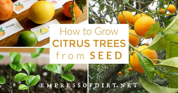 Citrus fruits you can grow from seed.