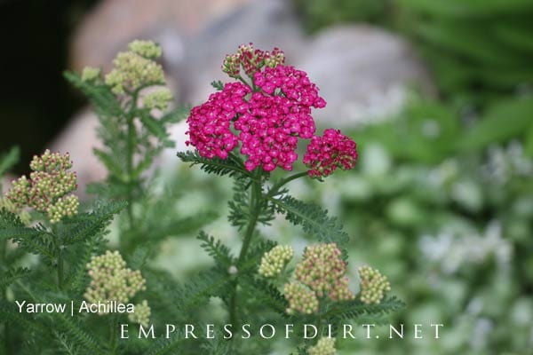 Bold pink yarrow in early summer garden.